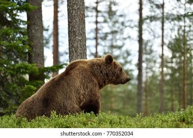 Brown bear (Ursus arctos) sitting in forest landscape