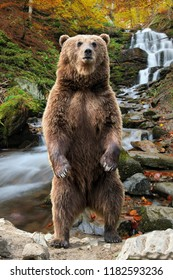 Brown bear (Ursus arctos) standing on his hind legs in the autumn forest on waterfall