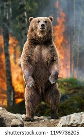 Brown bear (Ursus arctos) standing stands in burning forest in the spring forest