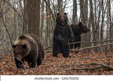 Brown bear (Ursus arctos) standing on his hind legs in the autumn forest