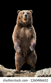 Brown bear (Ursus arctos) standing on his hind legs on the black background