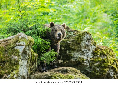 A brown bear, Ursus arctos, standing in front of a rock covered with moss behind a spruce tree on a summer day in National Park Bayerischer wald, blurry green forest background