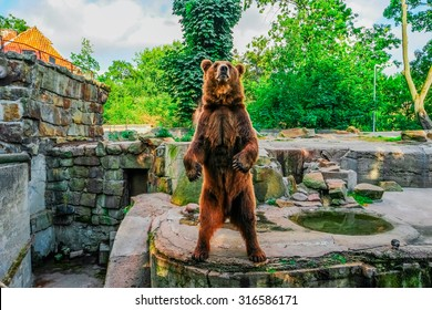 Brown bear (Ursus arctos) standing, front view