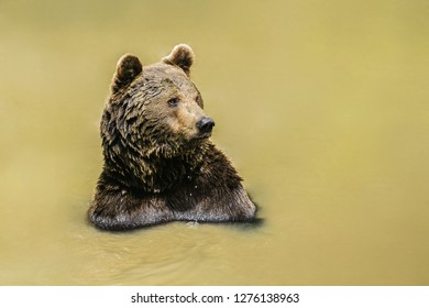 A brown bear, Ursus arctos, taking a bath in muddy water, having wet fur, sunny day in National Park Bayerischer wald, looking happy, blurry background, copy space