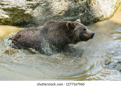 A brown bear, Ursus arctos, taking a bath in muddy water, shaking off water, hot sunny day in National Park Bayerischer wald, a piece of rock in background