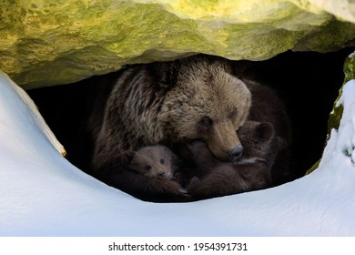 Brown bear (Ursus arctos) with two cubs looks out of its den in the woods under a large rock in winter - Shutterstock ID 1954391731