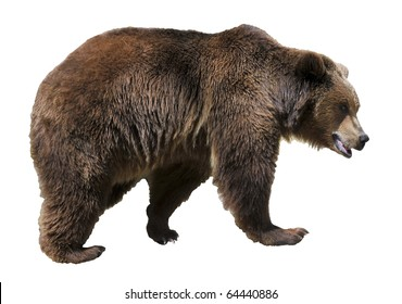 Brown bear (Ursus arctos) view of profile isolated on white background