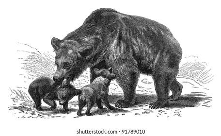 Brown bear (Ursus arctos) / vintage illustration from Meyers Konversations-Lexikon 1897