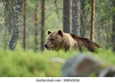 brown bear walking behind a hill in forest