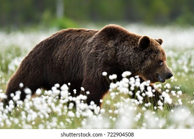 Brown bear walking in blossoming cottongrass. Wounded bear in bog.