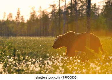 Brown bear walking in blossoming grass in contra light, taiga forest in background, lit by sunset.