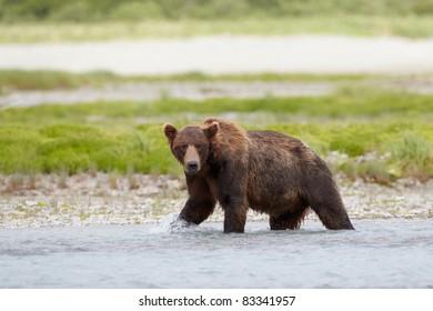 Brown bear walking in a creek. Katmai, Alaska