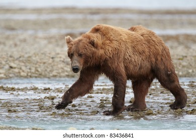 Brown bear walking at a creek. Katmai, Alaska