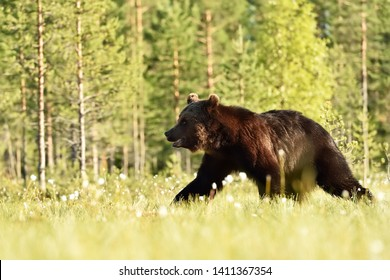 Brown bear walking at daylight. Bear in summer.