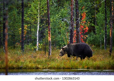 Brown bear walking in forest. Dangerous big bear in nature taiga and meadow habitat. Wildlife scene from Finland.