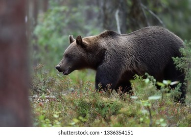 Brown bear walking in the forest late in the evening