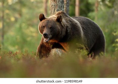 Brown bear walking in forest scenery