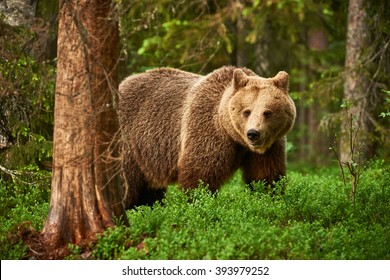Brown bear walking free in the finnish taiga