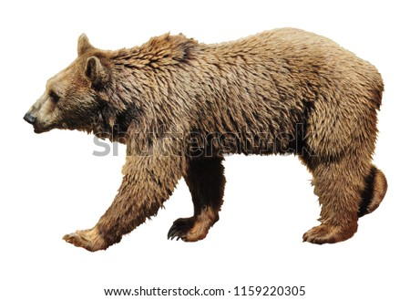 Brown bear walking isolated on white background. Copy space