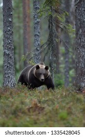 Brown bear walking late in the evening in the forest