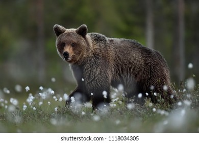 Brown bear walking at night in the bog with forest background