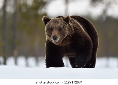 Brown bear walking on snow in late winter. Bear approaching on snow.