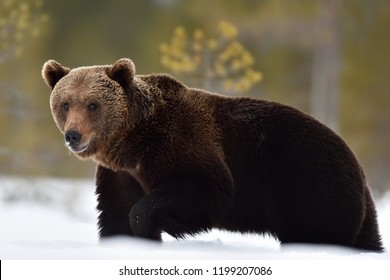 Brown bear walking on snow