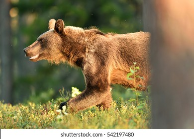Brown bear walking out from behind a tree in forest at summer evening