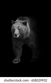 brown bear walking out of the dark and into the light, american wildlife wallpaper