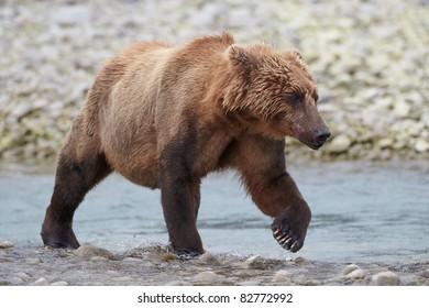Brown bear walking at riverbank. Katmai, Alaska