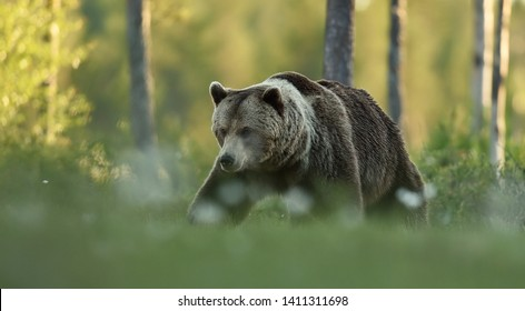 Brown bear walking in summer scenery