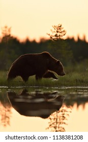 Brown bear walking at sunset with water reflection