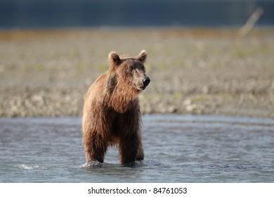 Brown bear walking in water. Katmai, Alaska