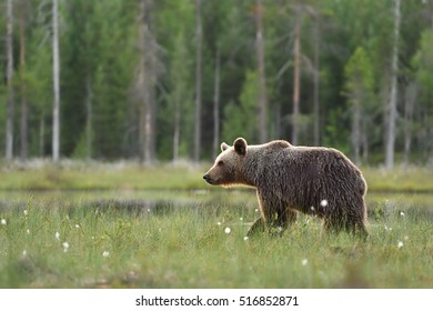 Brown bear walking in wetland, bog, forest background.