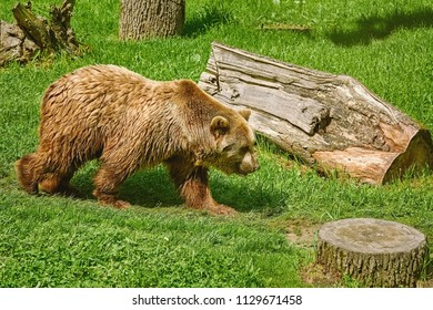 Brown Bear Walks on the Lawn