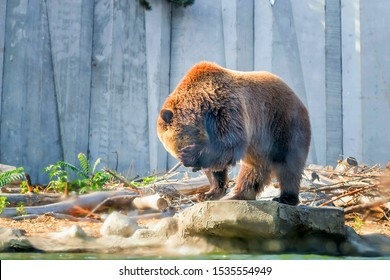 The brown bear washes near the pond. An adult. Sits on a rock and rubs his muzzle. Zoo Cherkasy in Ukraine.
