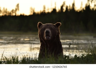 Brown bear in the water after sunset at summer