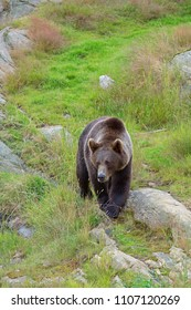 Brown Bear in the wild