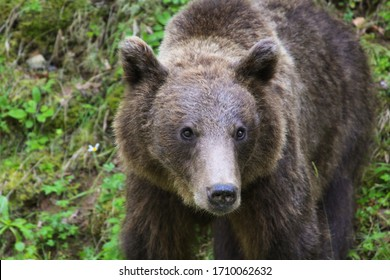 Brown bear in the wild in Transylvania, Romania. The brown bear is a bear species that is found across much of northern Eurasia and North America.