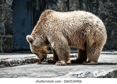 brown bear zoo