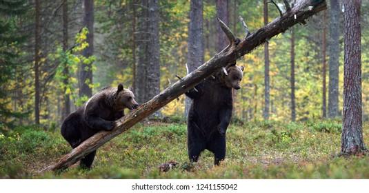 Brown bears in the autumn forest.  Natural Habitat. Brown bear, scientific name: Ursus arctos. Autumn season, natural habitat.