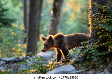 Brown bears in the forest. European bear moving in nature. Brown bear from Slovenia. Wildlife walking in nature. Bear in wildlife. Small bears in the forest. Spring in nature.