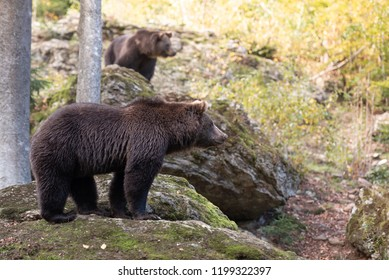 Brown bears are standing on the rock in Bayerischer Wald National Park, Germany