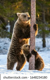 Brown bears stands on its hind legs by a pine tree. She-Bear and bear cubs in the winter forest on the snow. Natural habitat. Scientific name: Ursus Arctos Arctos.
