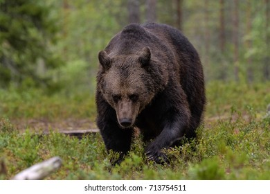 BROWN BEARS IN TAIGA FOREST