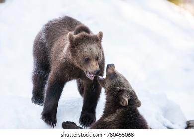 Brown Bears (Ursus arctos) in Lake Clark National Park, Alaska, USA