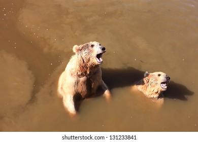 A brown bears (Ursus arctos) in troubled waters