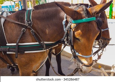 brown beautiful couple of Andalusian horses with their preparations straps to pull a carriage
