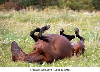 Brown beautiful cute young horse lying on its back on a summer day in a field