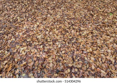 Brown beech tree leaves background on the forest floor